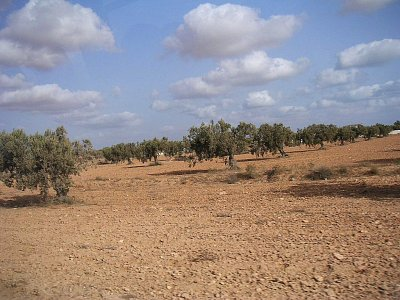 Olivové háje za Zarzisem