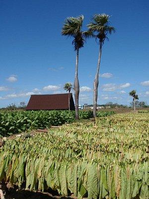 sklizeń tabáku - provincie Pinar del Rio (nahrál: best)