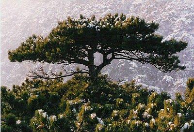 Borovice černá - Borovice černá. Zdroj: Wikipedia.org (nahrál: admin)